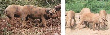 Porc ibérique Manchado de Jabugo (à gauche) et Torbiscal (à droite)